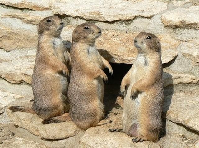 подземные собачки фото